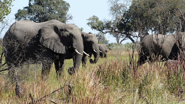Elephants in the Okavango Delta of Botswana