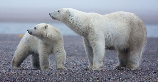 Wild Polar Bears in the United States