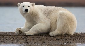NEW TRIP: Photographing Polar Bears in Kaktovik, Alaska
