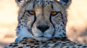 Wildlife Photo of the Day: Resting Cheetah After a Chase