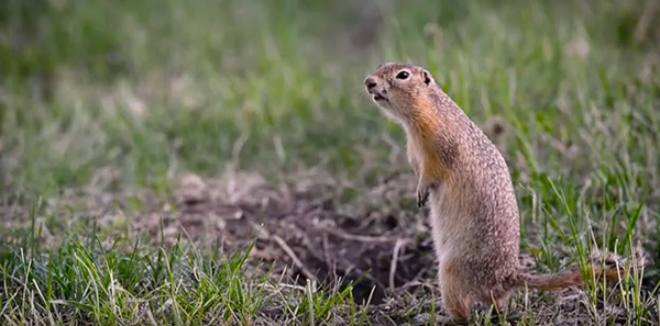 "The chirp of a ground squirrel on the alert is part of Yosemite National Park's biophony. ©From the video ""Yosemite Nature Notes: Soundscapes,"" Yosemite National Park"