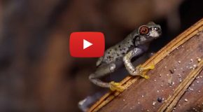 Video: Endangered Honduras Frogs Get a New Health Clinic