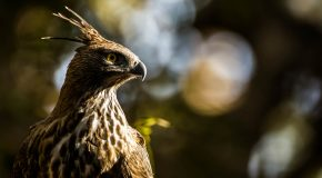 Wildlife Photo of the Day: Crested Hawk Eagle