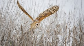 Wildlife Photo of the Day: Flight of the Barn Owl