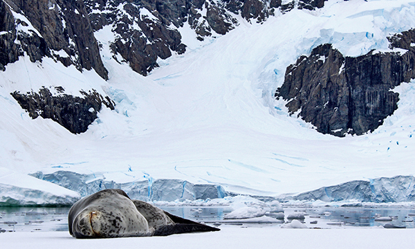 Leopard Seal Sleeping in Antarctica