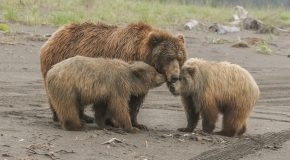 Wildlife Photo of the Week: Mama Bear & Her Cubs