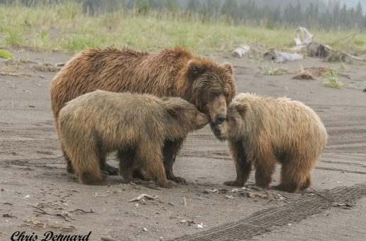 Wildlife Photo of the Day: Mama Bear & Her Cubs