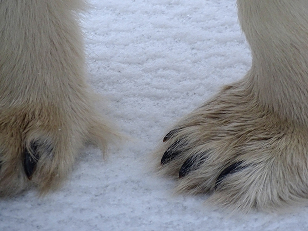 Polar Bear Paws in Churchill
