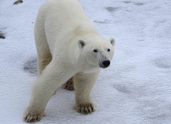 Churchill Polar Bear Tour