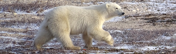 Polar Bear on Tundra in Churchill