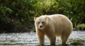 Wildlife Photo of the Day: Spirit Bear