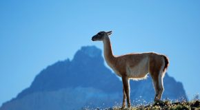 10 Interesting Facts About Guanacos