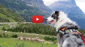 "Videos: The ""Bark Rangers"" of Our National Parks"