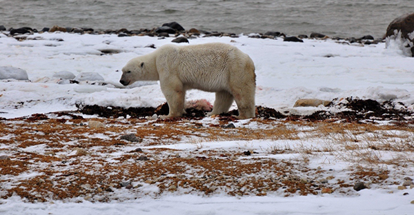 Old male polar bear near Churchill