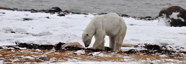 An old male polar bear eating a cub