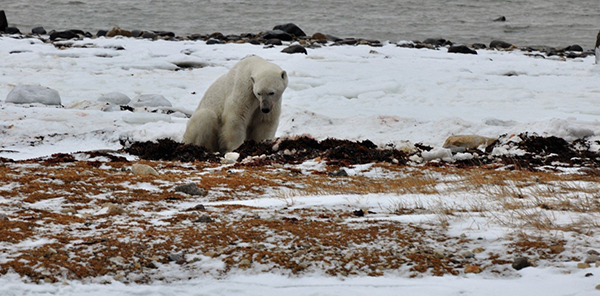 Old male polar bear ashamed of his kill