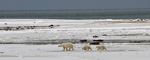 Churchill polar bear mother and cubs crossing the tundra