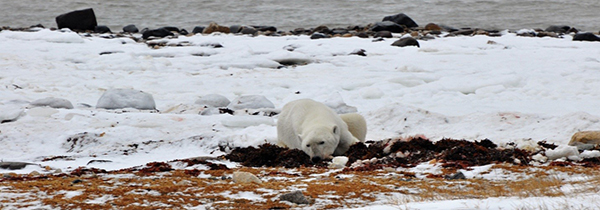 A polar bear takes a nap near Churchill, Manitoba
