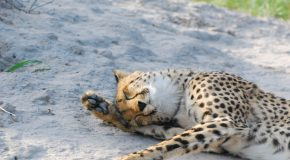 Wildlife Photo of the Week: Cheetah Snooze