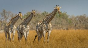 Wildlife Photo of the Week: Three Giraffes