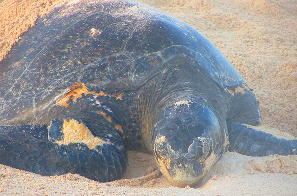 Nesting Sea Turtle in the Galapagos