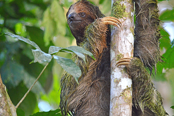Sloth on a Costa Rica Tour