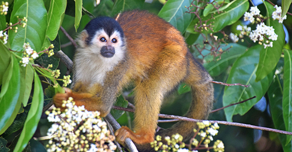 Squirrel Monkey in Costa Rica
