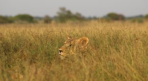 Encountering Lions in Botswana on my First Trip to Africa