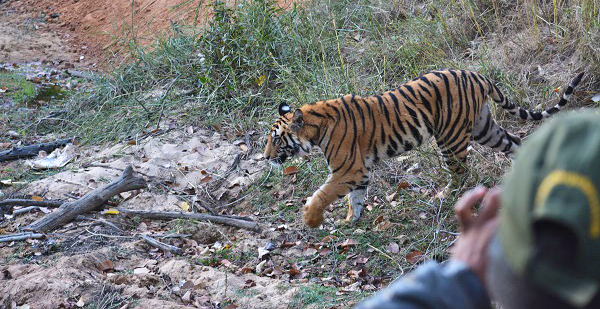 Photographing Wild Tigers in India