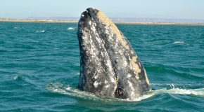 In Mexico: A Sanctuary for Gray Whales