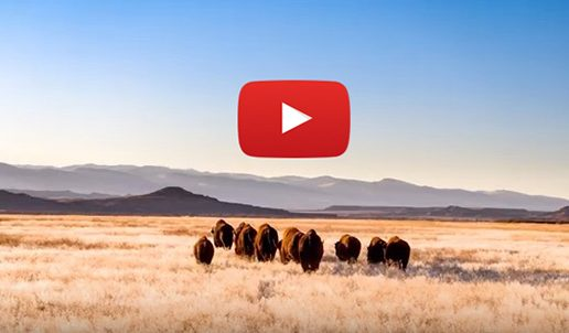 Video: Bison Return to Wyoming's Wind River Reservation