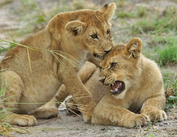 Lion cubs in Botswana
