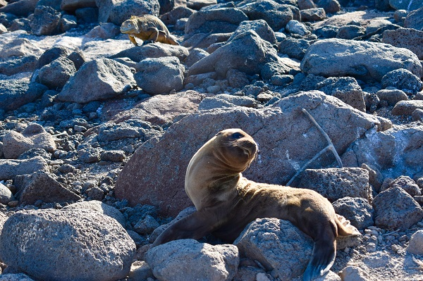 Sea Lion and Land Iguana