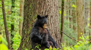Wildlife Photo of the Week: Black Bears Nursing