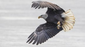 Wildlife Photo of the Week: Bald Eagle with Fish