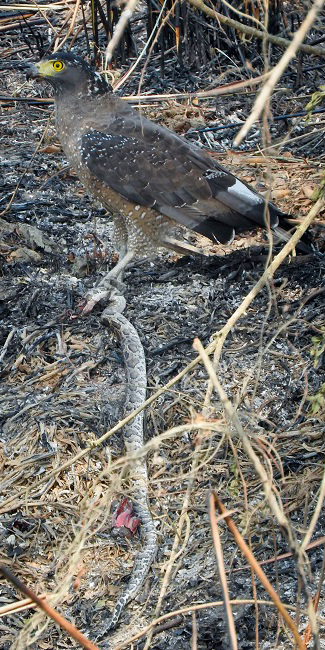 A serpent eagle with a snake in India