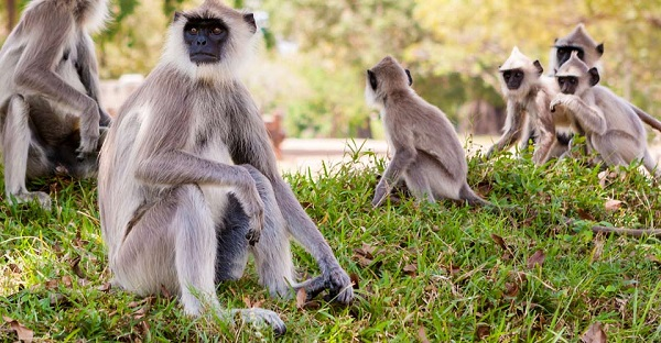 Wild langur monkeys in Sri Lanka