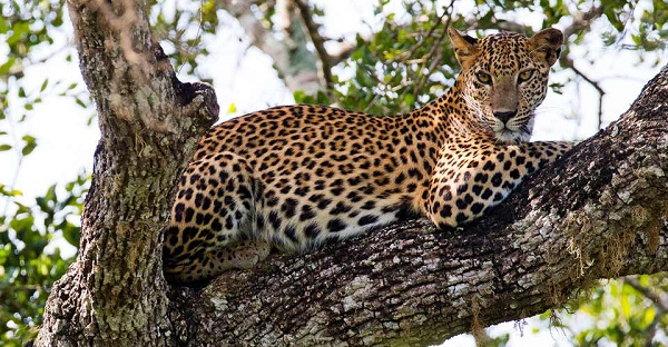 Wild leopard in Yala National Park, Sri Lanka