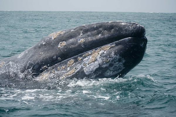 Wild Pacific gray whale