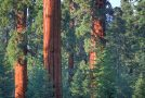 Needing Trees: Giant Sequoia National Monument and a Forested City