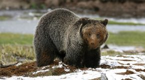 Greater Yellowstone Ecosystem Grizzly Bears Just Lost Federal Protections