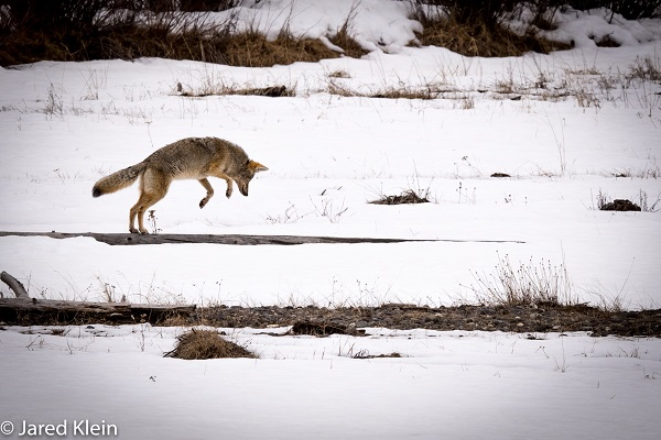 Wild coyote hunting in Yellowstone National Park