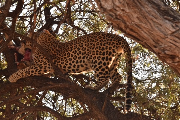 Leopard with prey in a tree