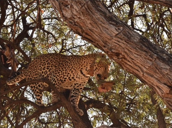 Leopard kill in a tree