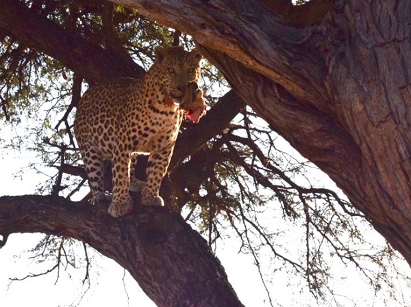 Leopard with impala in a tree