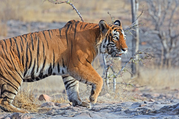 Wild male tiger on the prowl in India