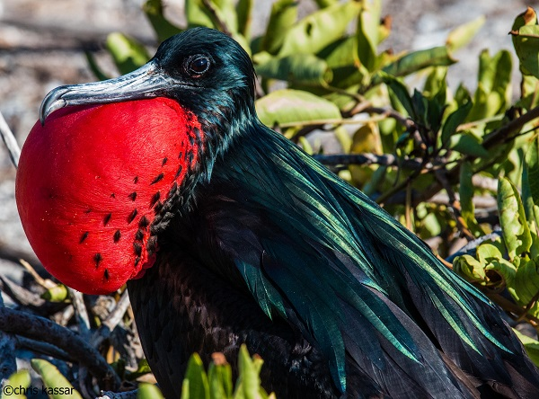 Red Frigatebird on Genovesa Island