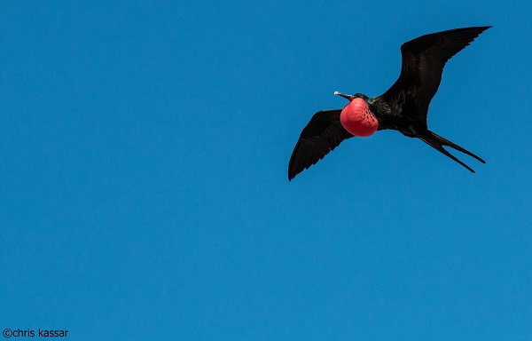 Red Frigatebird Flying Over Genovesa Island