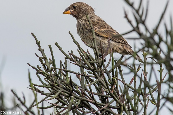 Darwin's Finch in the Galapagos