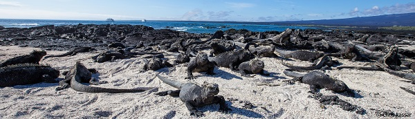 Marine iguanas stretch as far as the eye can see on the ocean's edge on Fernandina